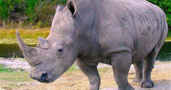 Tahukah Anda: Badak Jawa adalah salah satu jenis badak terlangka di dunia?