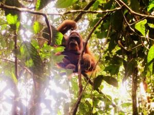 Een zeldzame foto shot van een mannelijke orang-oetan